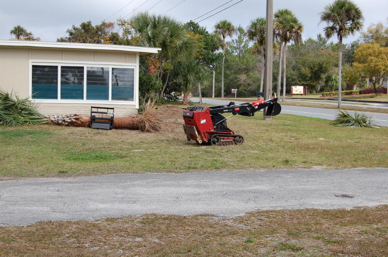 Fan palm dug and redy to move with pallet forks.